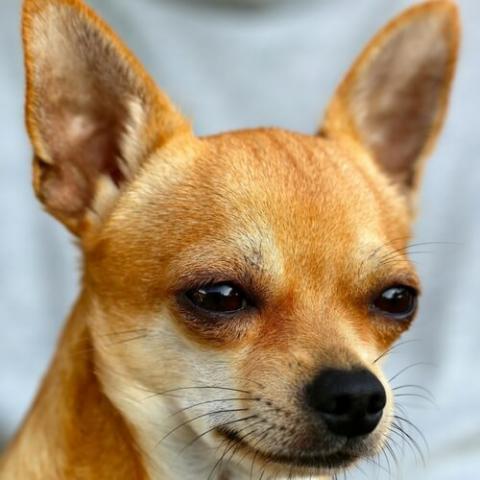Chihuahua Dog Breed Info