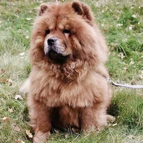 Chow Chow Dog Breed Info