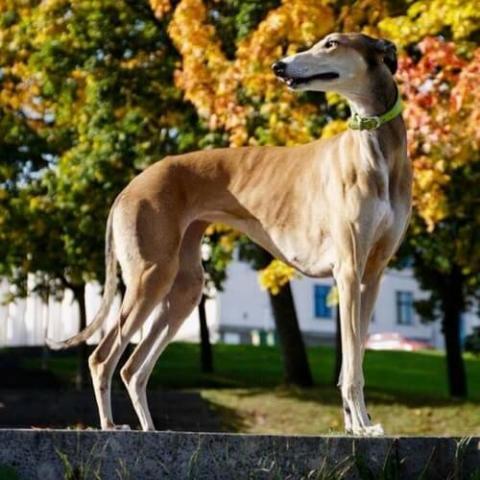Greyhound Dog Breed Info