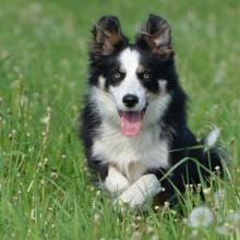 Border Collie Dog Breed Info