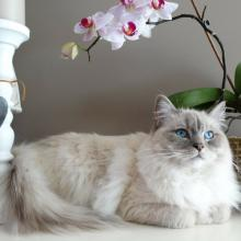 Ragdoll Cat Breed Info