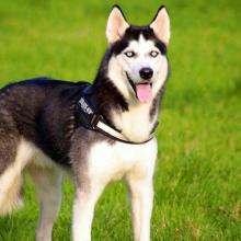 Siberian Dog Breed Info