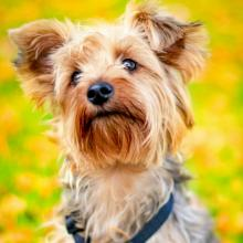 Yorkshire Terrier Dog Breed Info