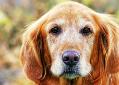 National Senior Pet Month senior dogs